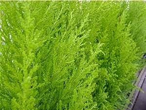 Confezione da 3 vasi 9 nano conifere cupressus for Cipresso nano