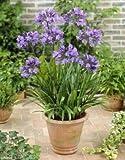 Agapanthus blau, Afrikanische Schmucklilie 25 cm +/-