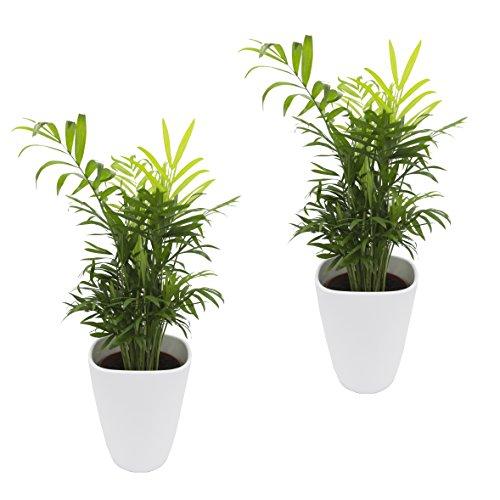 Zimmerpalmen-Set: 2 Zimmerpalmen, Chamedorea elegans, jeweils mit einem weißen Dekotopf, von Dominik Gartenparadies