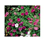 1500x Petunie, kurz hängende mix- Samen Pflanze Garten Blume K106