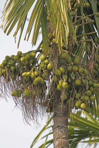 Seedeo Betelnußpalme (Areca catechu) 3 Samen