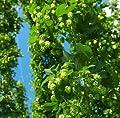 Wilder Hopfen Humulus lupulus 1 Pflanze 60-80 cm Extrem schnellwüchsig bis zu 3 Meter pro Monat von Peciborsc Pflanzenraritäten bei Du und dein Garten