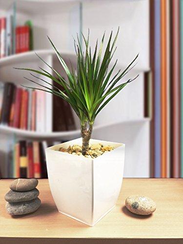 Easy Plants Evergreen Madagaskar Drachenhaus, Büropflanze in Hochglanz-Weiß, 1 Stück