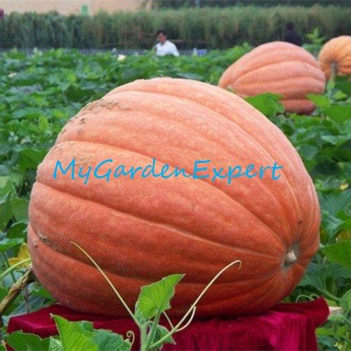 6pcs / lot géant citrouille Graines d'origine Graines d'emballage de légumes de bricolage américaine géant citrouille Bonsai Usine jardin