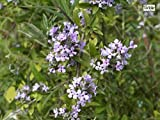 Buddleja alternifolia - Schmetterlingsflieder alternifolia