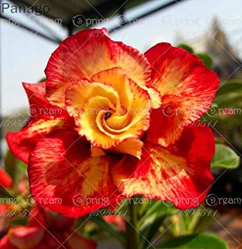 Pinkdose 2pcs Fiore rosa del deserto vero Adenium obesum bonsai fiore pianta piante grasse perenni piante in vaso al coperto per il giardino di casa: 7