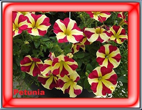 Petunia garden flowers 2017