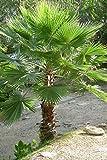 "Washingtonia robusta""Palma Messicana"" in vaso ø14 cm h. 30/50 cm"