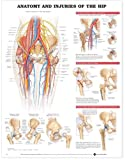 Image de Anatomy & Injuries of the Hip Anatomical Chart