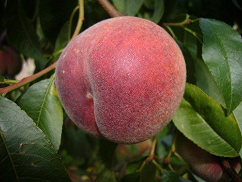 Fruchtbengel, Pfirsich Fruteria, Prunus persica, gut steinlösend, ertragreich, selbstfruchtbar