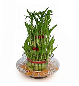 ... Green Plant Indoor 3 Layer Lucky Bamboo Plants