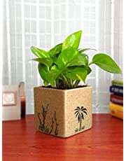 Rolling Nature Good Luck Money Plant in Brown Square Aroez Ceramic Pot