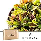 growbro | Venusfliegenfalle | Fleischfressende Pflanze | Anzuchtset | Geschenk Fliegenfalle, Gastgeschenke, Geschenk für Frauen, Geschenk für Männer, Geburtstagsgeschenk für Männer