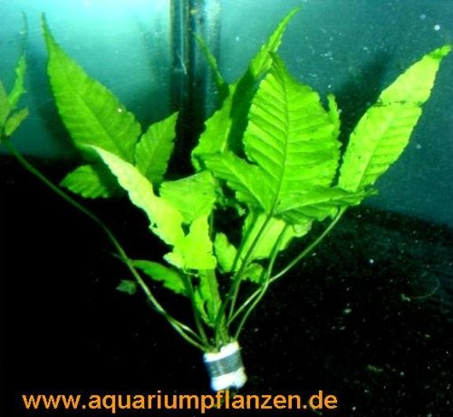 1 Bund Bolbtis heteroclita, asiatischer Wasserfarn