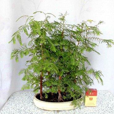 100pc-de-mini-bonsai-semillas-de-metasequoia-world-plantas-raras-semillas-de-arboles-de-hoja-perenne
