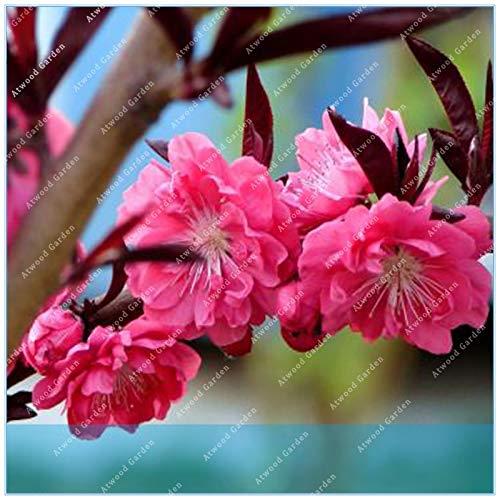 Virtue ZLKING 10 STÜCKE blühende pflaume prunus triloba Topfpflanzen Blühende Pflaumenbaum Blume blühende pflanzen