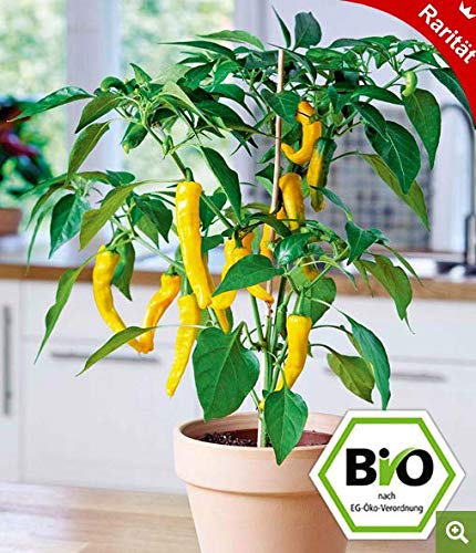 Qulista Samenhaus - 20pcs Rarität Zierkürbis Bicolor Pear ertragreich birnenförmig | Gemüsesamen Saatgut mehrjährig Winterhart