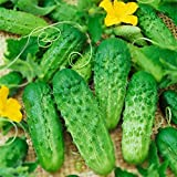 begorey Garten - 30 pcs Gurke Samen Mascha F1 Russische Abbeizen Bio Köstliche Gemüse Pflanzen Gemüsesamen Blumensamen NON-GMO Grown