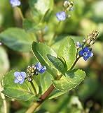 Wasserpflanzen Wolff - Veronica beccabunga - Bachbunge - Ehrenpreis, blau