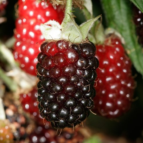 boysenberry-fruit-bush-in-a-2-litre-pot-pruned-to-approx-60cm-tall-rubus-ursinus-x-idaeus-fruit-bush