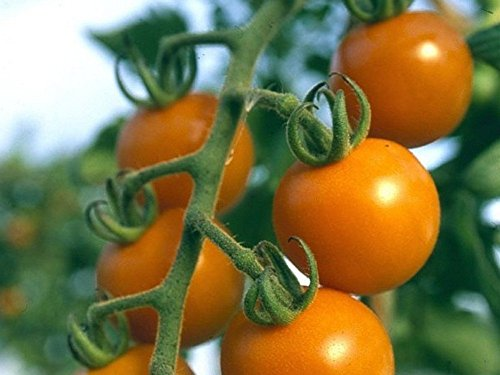 orange-cherry-tomate-sun-drop-20-samen