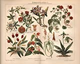 Zimmerpflanzen I; Frauenschuh, Passionsblume u.a. - Antiquarische Lithografie (Sammlerstück) von 1897