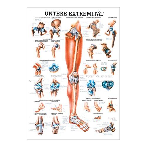 Untere Extremität Lehrtafel Anatomie 100x70 cm medizinische Lehrmittel