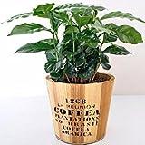 Vivai Le Georgiche Coffea Arabica (Pianta Del Caffè) Vaso 12 cm