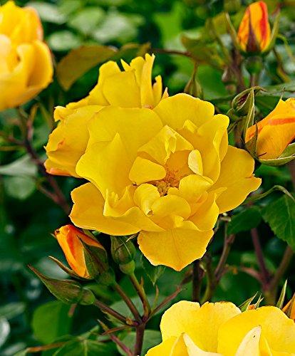 Rosaio rampicante 'golden showers'-1 confezione da 3-arbusti