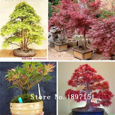 grandes-semillas-de-arce-venta-50pcs-bonsai-siembra-el-90-de-semillas-de-arboles-de-florecimiento-ra
