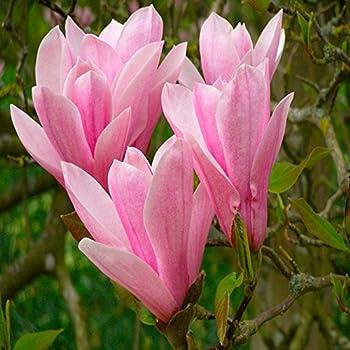 magnolie nigra 1 strauch garten. Black Bedroom Furniture Sets. Home Design Ideas