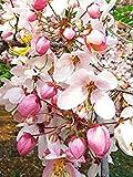 Semi BloomGreen Co. Albero Semi giavanese Cassia Magnoliophyta 10 semi orto Semi Confezione