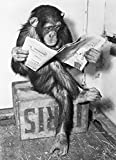 Close Up Poster - Schimpanse liest Zeitung | Chimpanzee Reading Newspaper - Schwarz- Weiß (91,5 x 61cm)