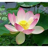 Asklepios-seeds® - 10 Semillas de Nelumbo nucifera loto sagrado