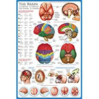 Educational Poster 'The Brain' preiswert