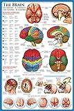 empireposter - Educational - Bildung - The Brain Das Gehirn  - Größe (cm), ca. 61x91,5 - Poster, NEU - Version in Englisch