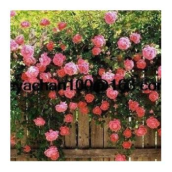 Rose rampicanti rosa rampicante Vaso da giardino 100 semi di fiori ...