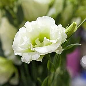 200rare wei eustoma samen staude bl tenpflanzen balkon topfblumen samen lisianthus f r pflanzer. Black Bedroom Furniture Sets. Home Design Ideas