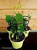 Mexikanische Minigurke Melothria scabra Gemüse Pflanze 4stk.