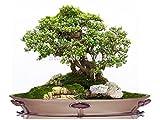 semi dei bonsai dell'erba, semi bonsai finti, semi di trifoglio crescono più velocemente - 100 particelle Seed