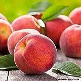 Anitra Perkins - Rarität Pfirsich samen 'Roter Ellerstädter' Saftig ertragreich | Obstbaum Obstsamen mehrjährig Winterhart für Obstgärten (10)