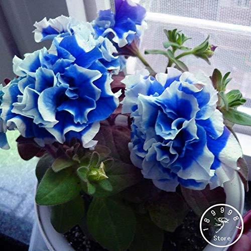 Pinkdose 50 pièces/Sac Petunia pétales bleu avec jardin blanc Side Maison Bonsai Balcon Fleur Petunia Plantes Fleur, DMNY6Y