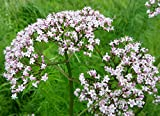 Echter Baldrian - Valeriana officinalis - Valerian - 100 Samen