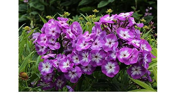 Phlox paniculata Uspekh aka Laura a garden tested hardy perennial plant