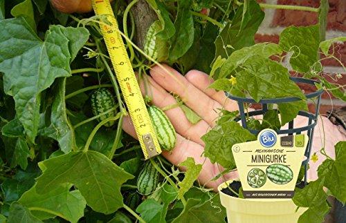 Köstliche Mexikanische Minigurke Gurkenpflanze Melothria scabra 1 Pflanze