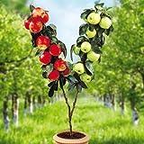 TOMASA Seedhouse- 20 pezzi Melo nano rosso, pianta da frutto biologica Melo miniatura albero Mela dolce Jonagold sul gambo per giardino, fattoria