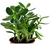 Live Jade Plant Crassula Ovata Plant in Pot (height 6-8 inches)