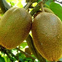 Semillas de plantas frutales Semillas KIWI Semillas de vid Actinidia Rare Delicious 100pcs / Bag Planting Landscaping