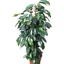 Planta de interior - Planta para la casa o la oficina - Ficus benjamina - Higuera