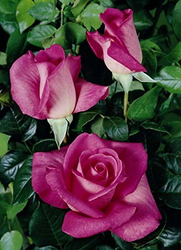'Lady Like' -R-, Duft-Edelrose im 4 L Container -